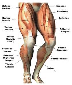 human muscle structure picture 1