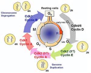pictures of skin cancer cell cycle picture 5