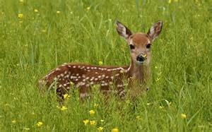 11. if female deer mate with male deer picture 7