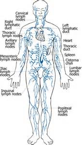 cellulite lymph system picture 1