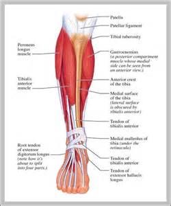 leg muscle diagram picture 9