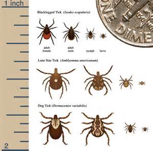 herbal remedies for ticks picture 1