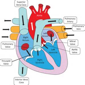 heart diagram picture 1