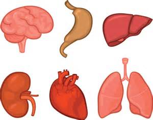 liver human body picture picture 1