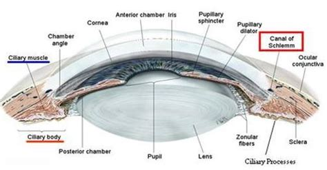 function of the cilary muscle picture 14
