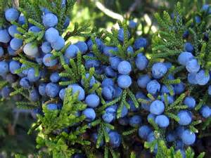 cedar berry and liver picture 1