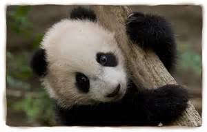 how much do giant pandas sleep picture 15