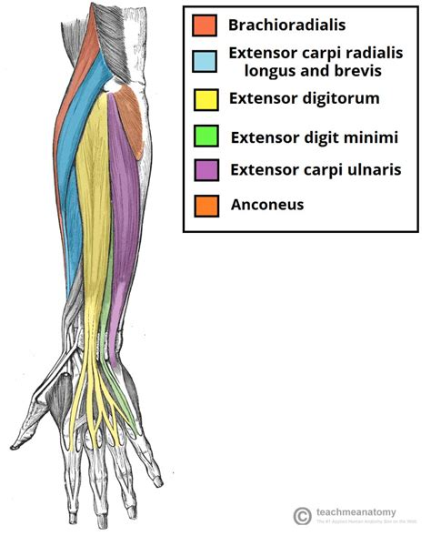 forearm muscle anatomy picture 13