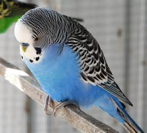 parakeet sleeping all the time picture 1