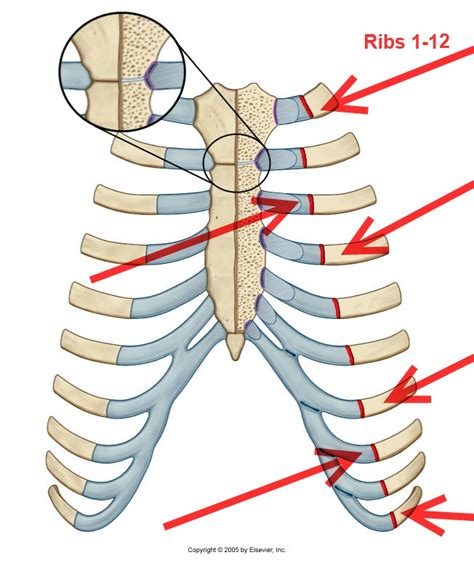 costochondral joint picture 2