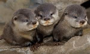 diet baby river otters picture 1