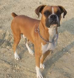 boxer dogs skin conditions picture 2