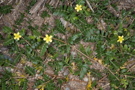 tribulus testosterone wiki picture 2