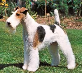 long haired foxterrier picture 1