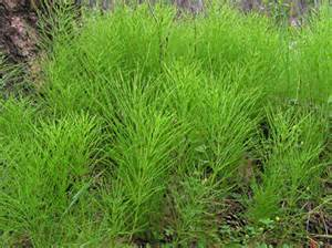 horsetail picture 3