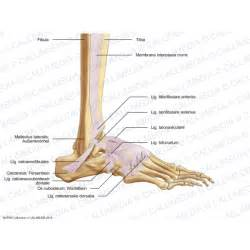 ligaments picture 3