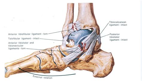 ankle joint diagram picture 10