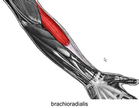 flexor pollicis longus muscle picture 11