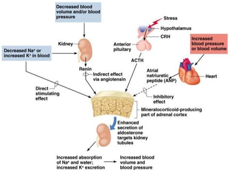 head injury and blood pressure and aldosterone release picture 15