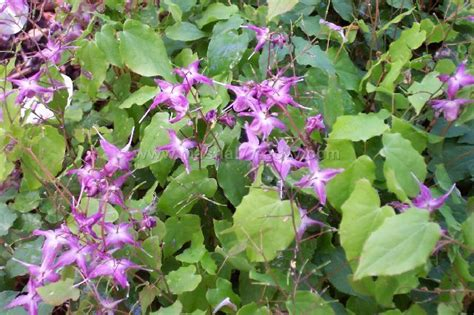 will horny goat weed cause herpes outbreaks picture 2