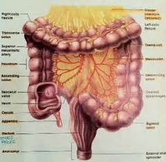 digestion in small intestine picture 13