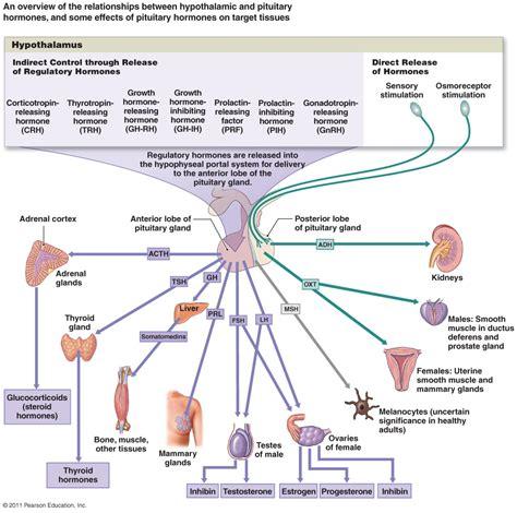 hormones picture 14