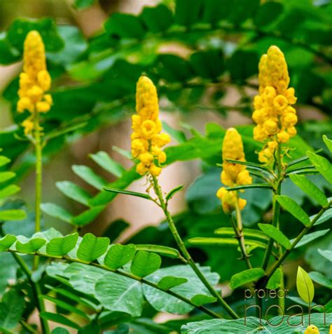 herbal plants in the philippines and their uses picture 3