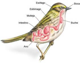 urinary system of a bird picture 10
