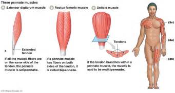 what is the definition of muscle strength picture 18