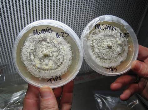 essential cultures for vampire fungus picture 3