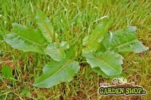 dandelion control organic nonchemical picture 5