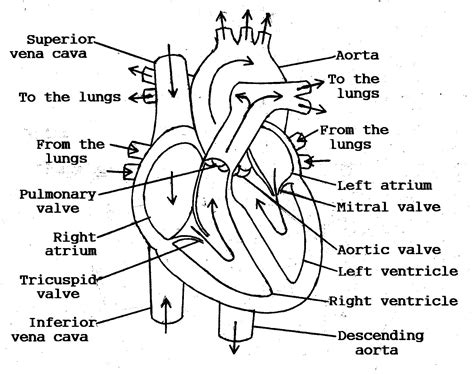 diagram of blood flow picture 3