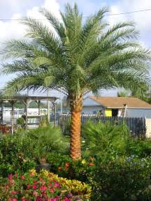 buy acai palm florida picture 3