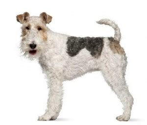 wire hair fox terriers web 9818 picture 8