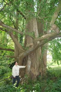 ginkgo tree facts picture 7