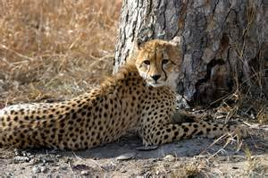 picture cheetah sleeping in a tree picture 7