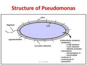 pseudomonas bacterial pathogen picture 7