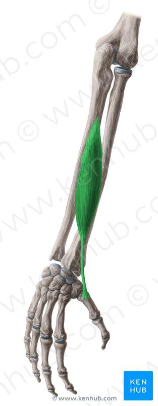 flexor pollicis longus muscle picture 3