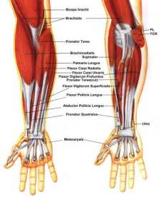 forearm muscle anatomy picture 2