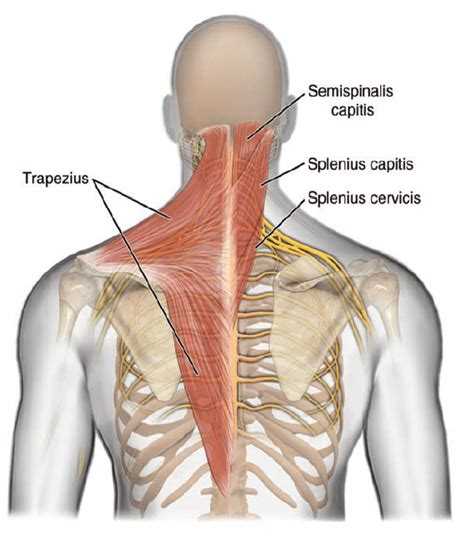 accessory muscle picture 7