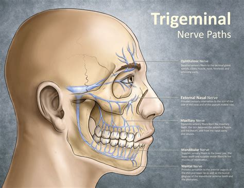 ciliary muscle and trigeminal eye pain picture 13