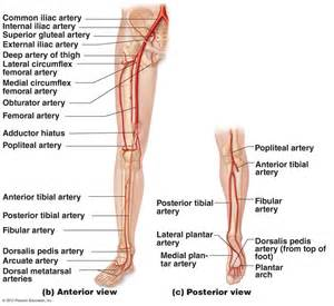 upper extremity of blood circulation picture 1