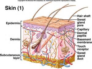 skin structure pictures picture 5
