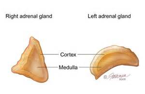 adrenal insufficiency and bladder control picture 7