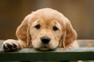 golden retriever thyroid medication cost picture 6