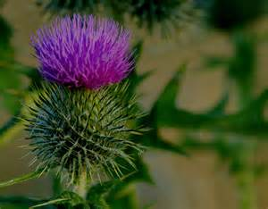 thistle picture 10