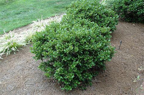 herbs for hypertension ilex cornuta picture 1