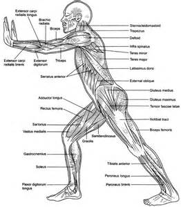 human muscle diagram picture 1