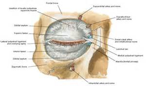muscle that surrounds the eye orbit picture 5