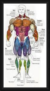human muscle diagram picture 2